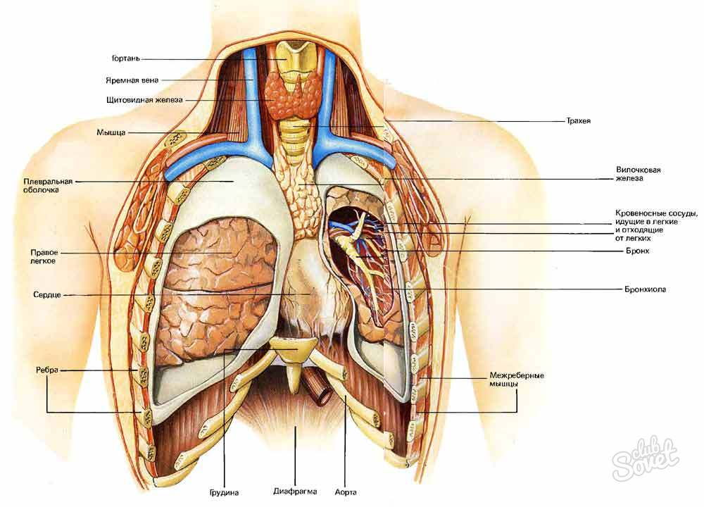 Какой орган находится справа под грудью
